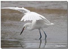 White Morph Reddish Egret photo by Betty Vlasiu