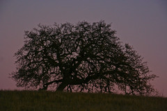 oak on solstice sunset photo by E>mar