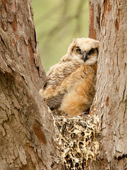 Great Horned Owlet photo by PeterBrannon