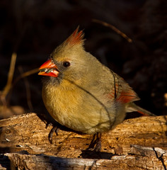 Cardinal photo by Lindell Dillon