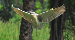 Black Crowned Night Heron photo by New NewEnglander.