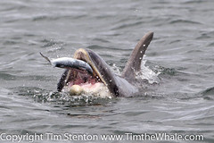 BND Bottlenose dolphin (Tursiops truncatus) 17 Jul-13-41758 photo by tim stenton www.TimtheWhale.com