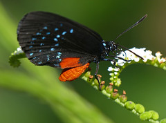 Atala (eumaeus atala) photo by celerycelery