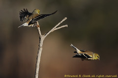 Goldfinch 'Terminal' photo by HowardCheekPhotography.com