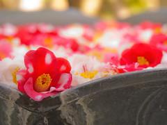 Camellia japonica photo by makiko_11