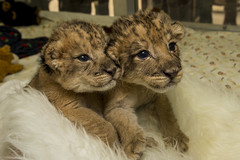 Precious Pair: Lion Siblings Thrive at San Diego Zoo Safari Park photo by San Diego Zoo Global