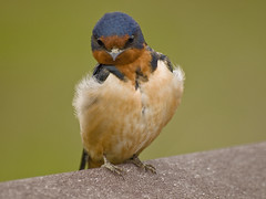 Barn Swallow with Attitude photo by moelynphotos