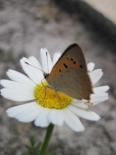 Papillon le bronzé ou le cuivré commun