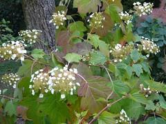 H. quercifolia  (2)