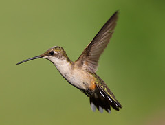 Ruby-Throated Hummingbird - Randolph County North Carolina photo by fazer53