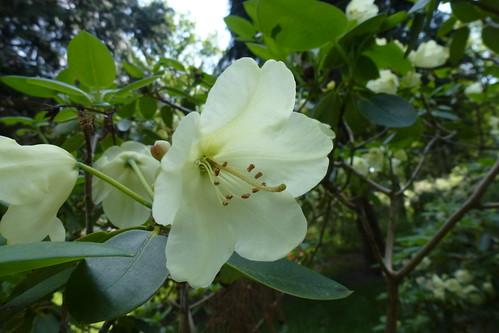Rhododendron Gl. Kjøgegaard