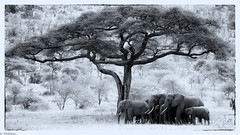 Elephants B&W photo by jnhPhoto