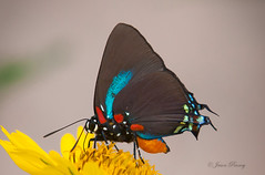 Great Purple Hairstreak - Atlides halesus photo by J Centavo