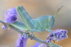 Orthoptera photo by gatorlink