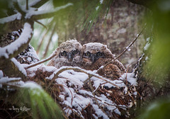 Spring Snow On Great Horned Owl Baby Chicks photo by Terry Aldhizer