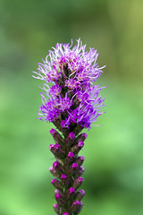 liatris photo by Usually Melancholy