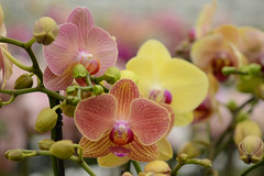 Orchid photo by Rene Mensen