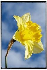 The Daffodil photo by Diamond Brooke