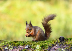 Red Squirrel photo by Dillon27