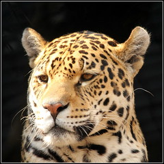 Thinking Jaguar thoughts photo by catb -