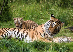 Dominika, the amur (Siberian) tiger, relaxing with her cubs at Highland Wildlife Park, Scotland photo by Digisnapper