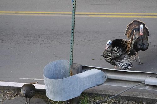 berkeley turkey