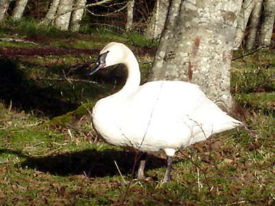 Democratic swan