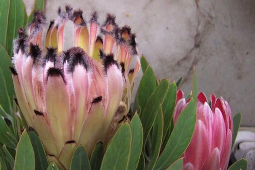 Big & small proteas