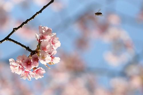cherry-blossom, Ueno