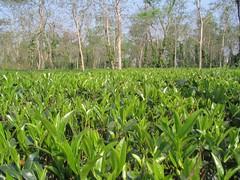 Tea gardens, Kaziranga