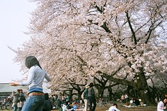 cherry-blossom viewing in Koganei Park