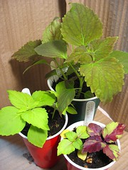 Coleus 'Twirl-a-whirl' (Cuttings and Hybrids)