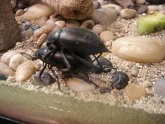 bugzoo_beetlelove