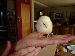 A cute chick
