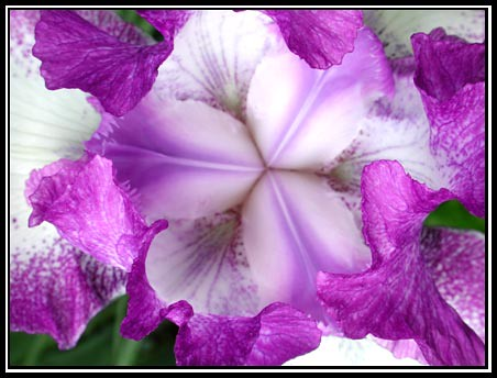 Purple Iris From Above
