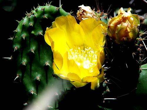Flor de higo-3