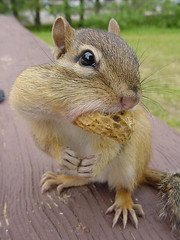 local_wildlife_chipmunk_3
