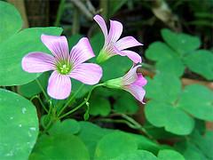 Pretty Oxalis Flowers