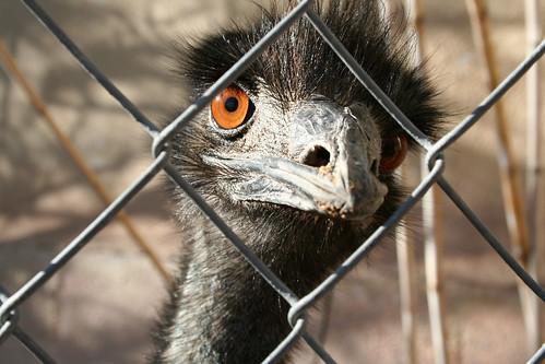 Emu Sensibilities