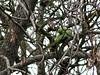 Periquito-rabijunco (Psittacula krameri)