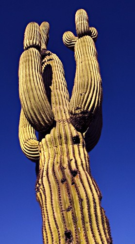 Saguaro Reaches for Heaven