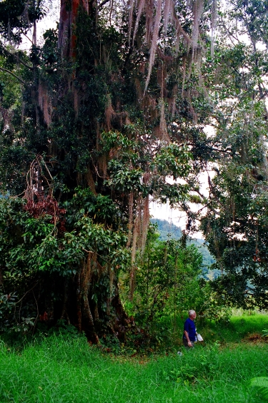 a huge tree in Costa Rica