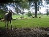 Horse and llamas