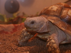Ozzy, my pet sulcata tortoise