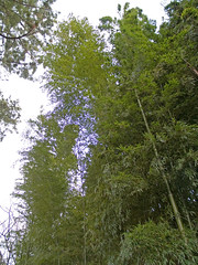 Bamboo 060115 #02