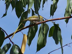 Silvereye amongst the gum leaves