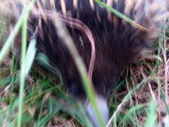blurry echidna sniff