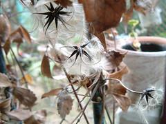 半鐘蔓の種