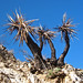 Yucca in Big Morongo Canyon Preserve (2)