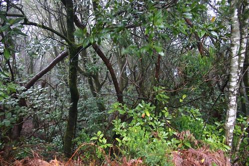 Forest scene - Anaga